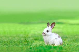 草地に座る子供のウサギの写真素材 [FYI03450734]