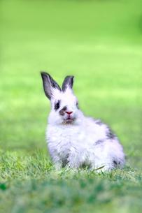 草地に座る子供のウサギの写真素材 [FYI03450735]
