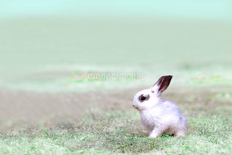 草地を歩く子供のウサギの写真素材 [FYI03450736]