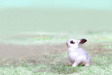 草地を歩く子供のウサギの写真素材 [FYI03450737]