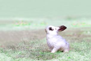 草地を歩く子供のウサギの写真素材 [FYI03450738]