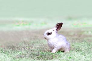草地を歩く子供のウサギの写真素材 [FYI03450739]
