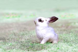 草地を歩く子供のウサギの写真素材 [FYI03450740]