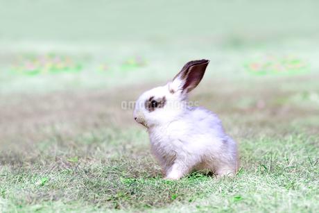 草地を歩く子供のウサギの写真素材 [FYI03450741]
