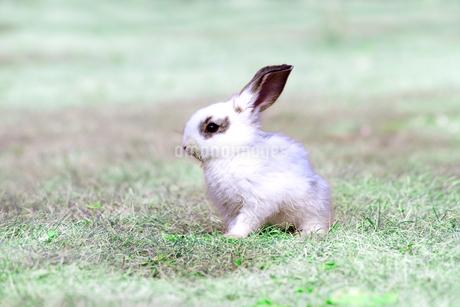 草地を歩く子供のウサギの写真素材 [FYI03450742]