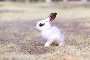 草地を歩く子供のウサギの写真素材 [FYI03450743]