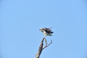 野鳥/ミサゴの写真素材 [FYI03450746]