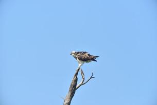 野鳥/ミサゴの写真素材 [FYI03450747]