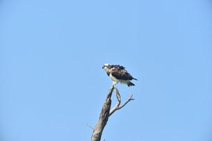 野鳥/ミサゴの写真素材 [FYI03450748]