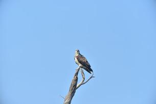 野鳥/ミサゴの写真素材 [FYI03450750]