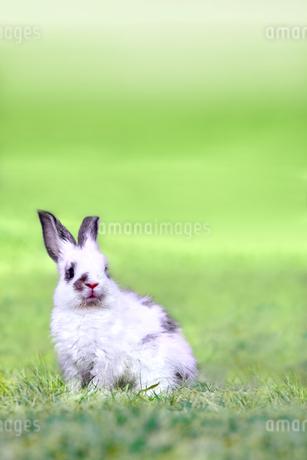草地に座る子供のウサギの写真素材 [FYI03450753]