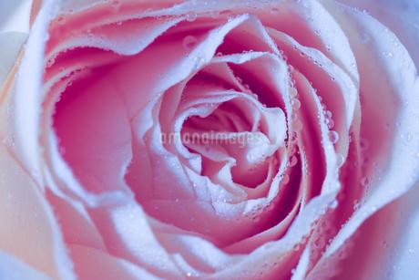 薔薇のクローズアップの写真素材 [FYI03450775]