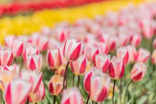 チューリップの花畑の写真素材 [FYI03451108]