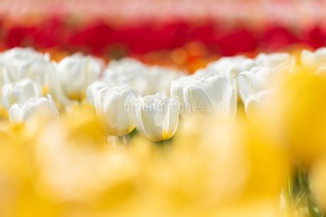 チューリップの花畑の写真素材 [FYI03451109]