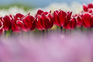 チューリップの花畑の写真素材 [FYI03451110]
