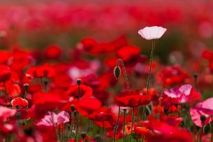 満開のポピーの花畑の写真素材 [FYI03451121]