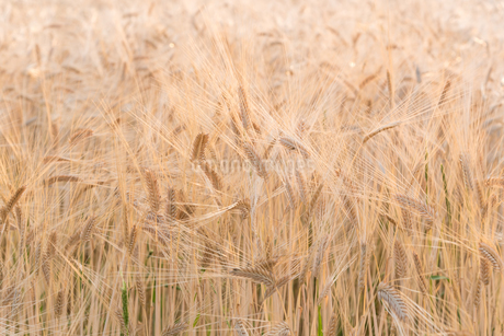 実りの麦畑の写真素材 [FYI03451122]