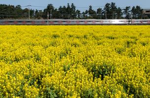 満開の菜の花畑と列車の写真素材 [FYI03451123]
