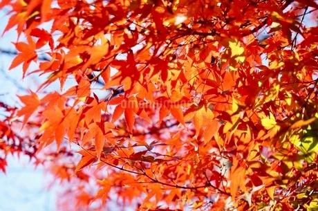 京都の紅葉の写真素材 [FYI03451293]