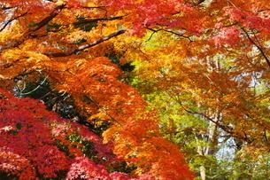 庭園の紅葉の風景の写真素材 [FYI03451410]