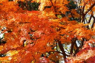 庭園の紅葉の風景の写真素材 [FYI03451412]