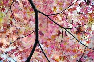 庭園の紅葉の風景の写真素材 [FYI03451414]