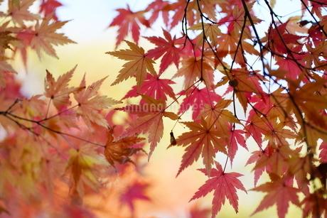 庭園の紅葉の風景の写真素材 [FYI03451415]