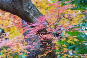 庭園の紅葉の風景の写真素材 [FYI03451416]