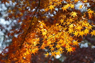 庭園の紅葉の風景の写真素材 [FYI03451417]