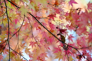 庭園の紅葉の風景の写真素材 [FYI03451418]
