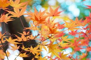庭園の紅葉の風景の写真素材 [FYI03451419]