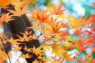 庭園の紅葉の風景の写真素材 [FYI03451420]