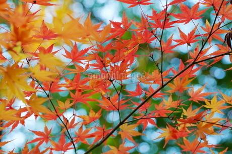 庭園の紅葉の風景の写真素材 [FYI03451421]
