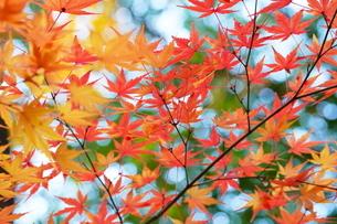 庭園の紅葉の風景の写真素材 [FYI03451422]