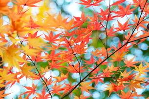 庭園の紅葉の風景の写真素材 [FYI03451423]