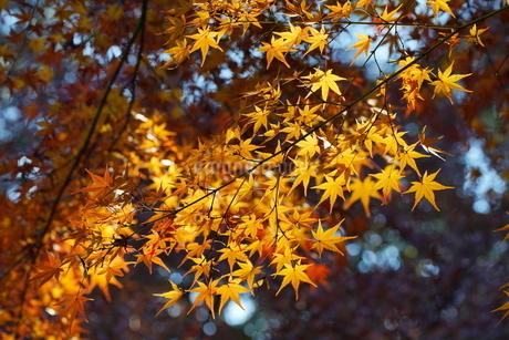 庭園の紅葉の風景の写真素材 [FYI03451424]