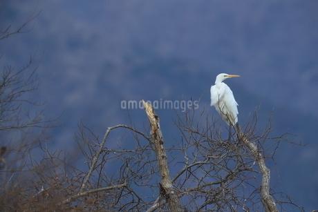 白鷺の写真素材 [FYI03451443]