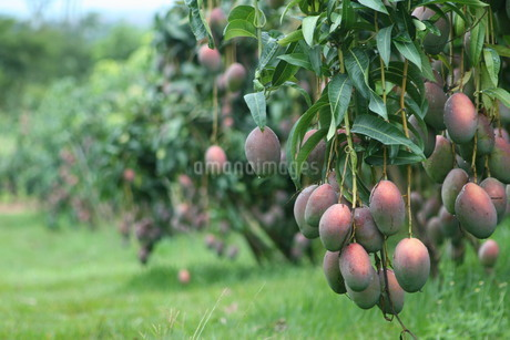 ブラジルで栽培されているマンゴーの写真素材 [FYI03451505]