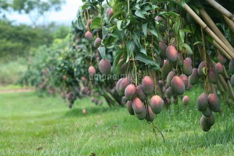 ブラジルで栽培されているマンゴーの写真素材 [FYI03451506]