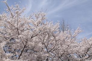 満開の桜の写真素材 [FYI03451512]