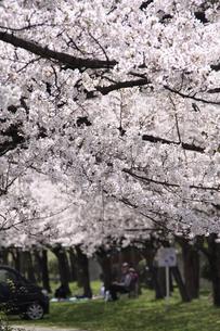 満開の桜の写真素材 [FYI03451516]