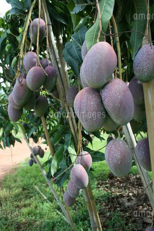 ブラジルで栽培されているマンゴーの写真素材 [FYI03451517]