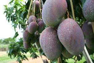 ブラジルで栽培されているマンゴーの写真素材 [FYI03451518]