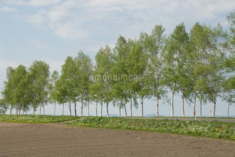 白樺の道の写真素材 [FYI03451574]