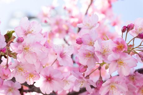 河津桜の花の写真素材 [FYI03451575]