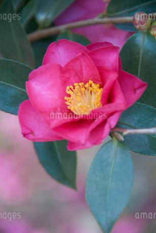 椿の花の写真素材 [FYI03451625]