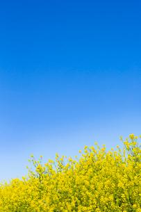 青空の下の黄色い菜の花の写真素材 [FYI03451687]
