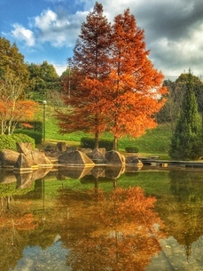 紅葉した二本の木の写真素材 [FYI03451728]