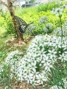 蝶と韮の写真素材 [FYI03451729]