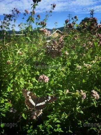 蝶の写真素材 [FYI03451731]